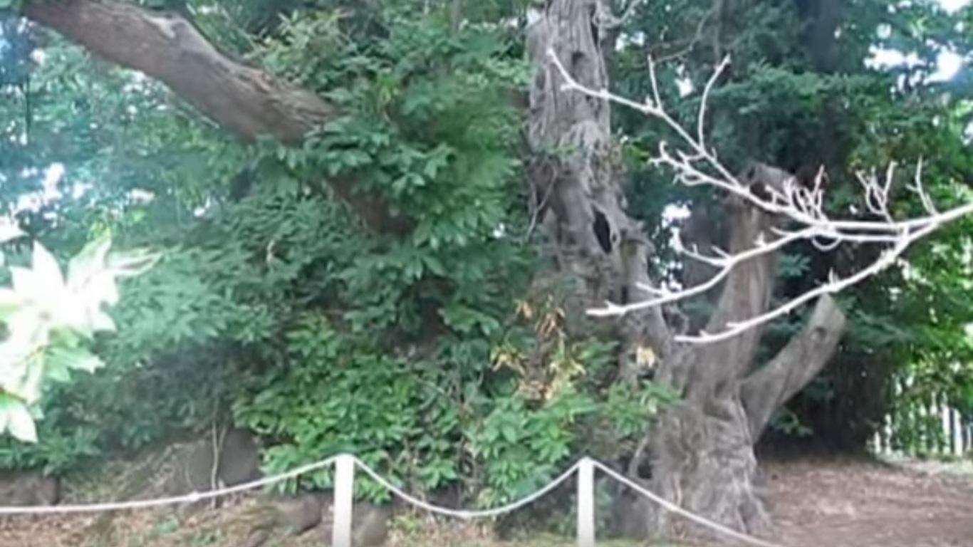 Der älteste Baum Europas