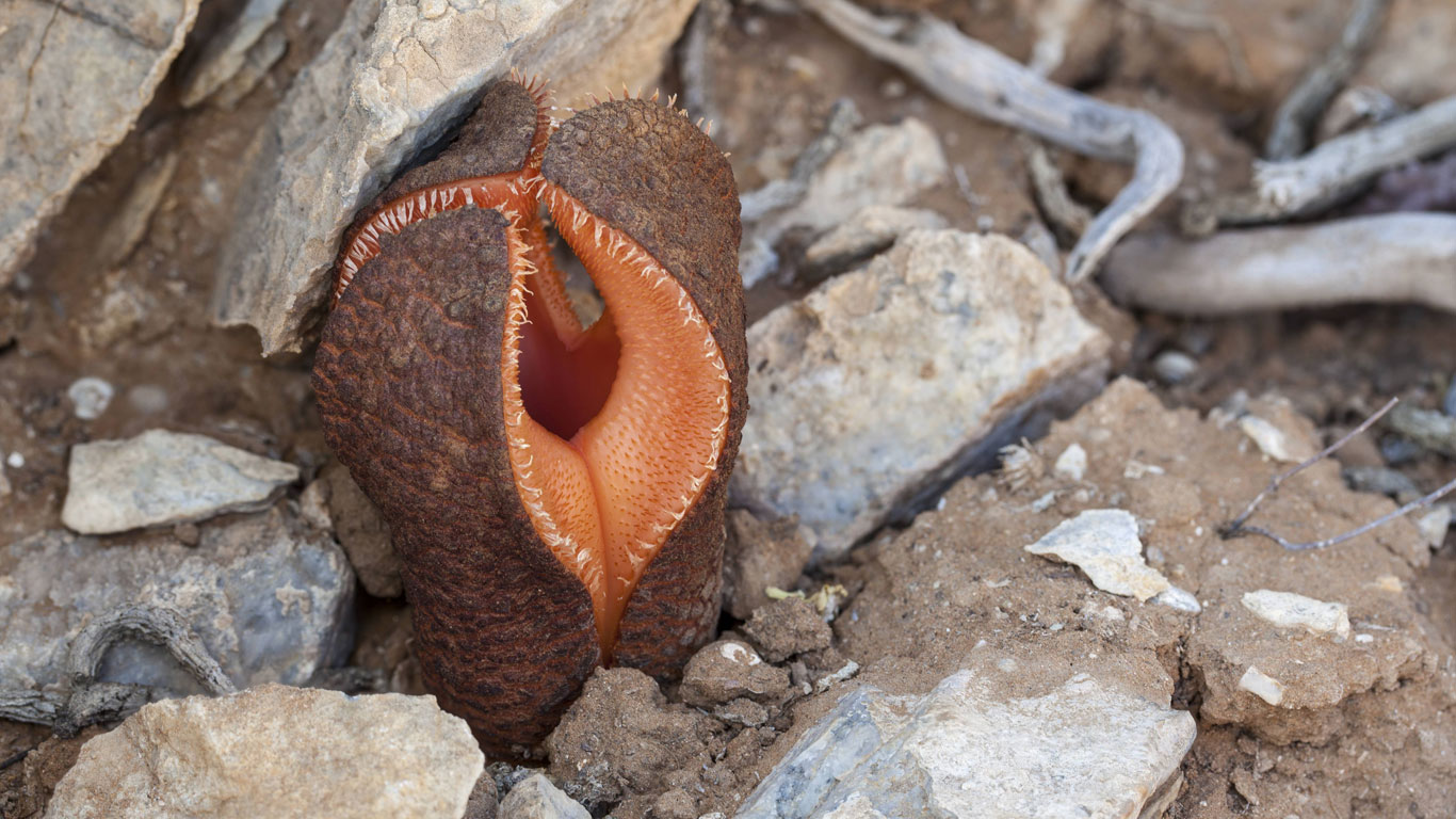 Hydnora