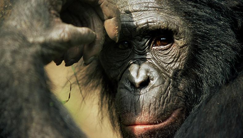 Verlierer: Bonobos