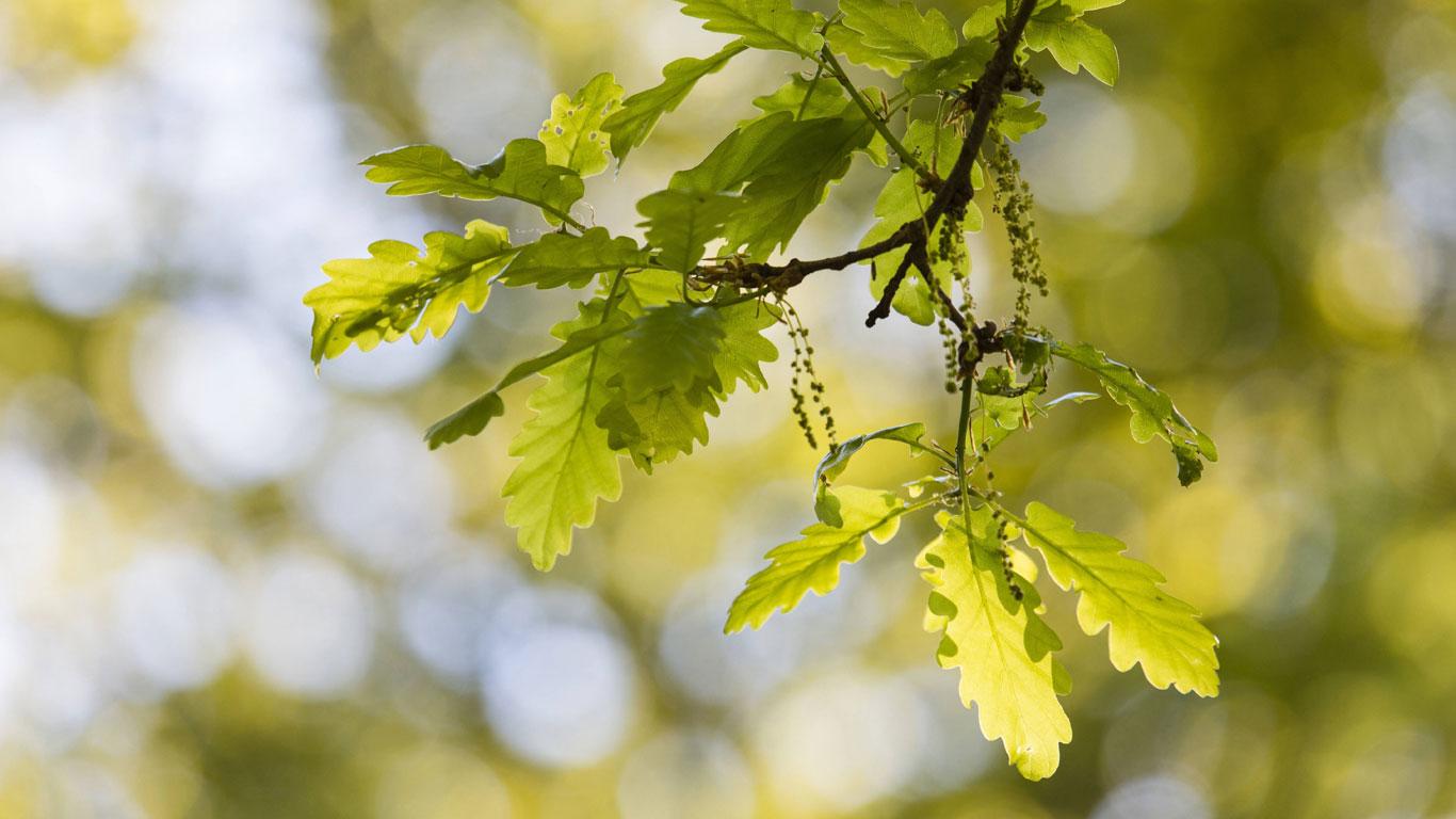 Im Mai: Eiche und Kiefer