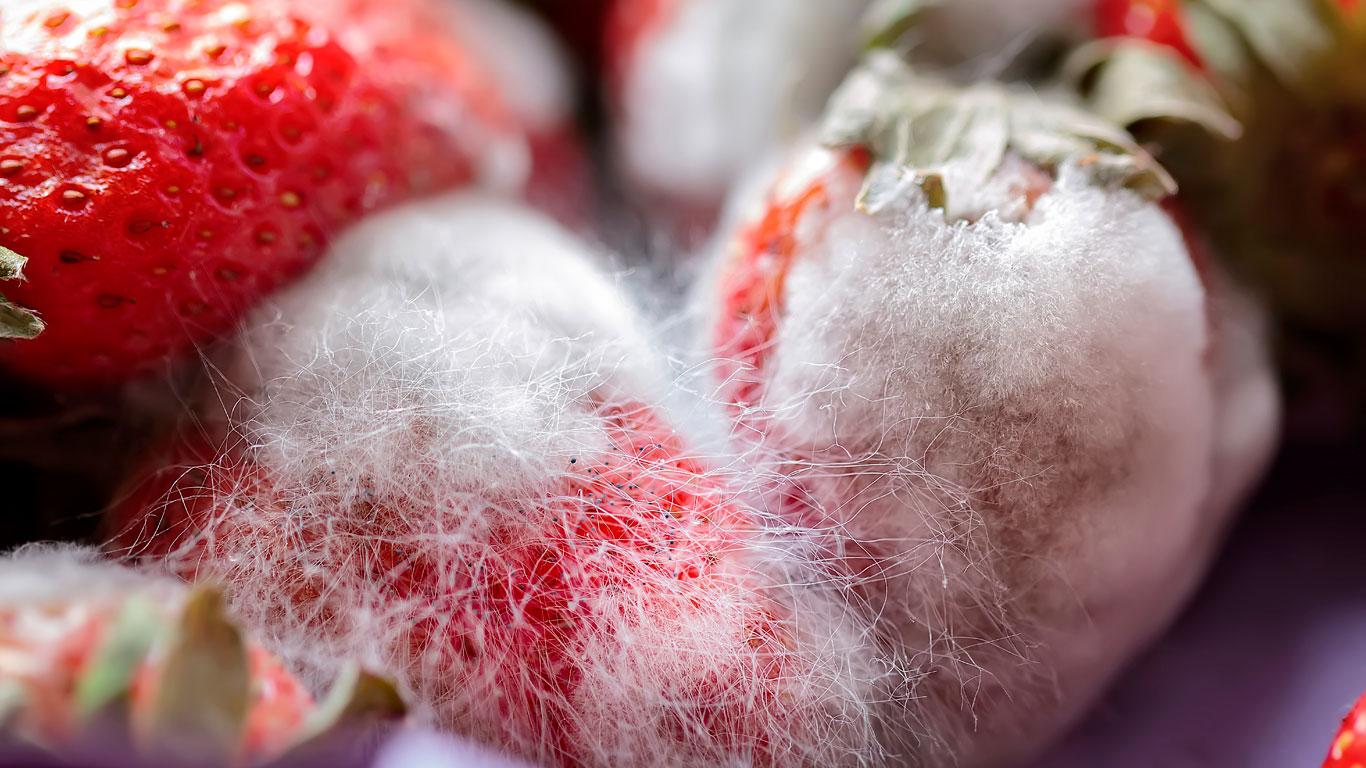 Schimmel Erdbeeren