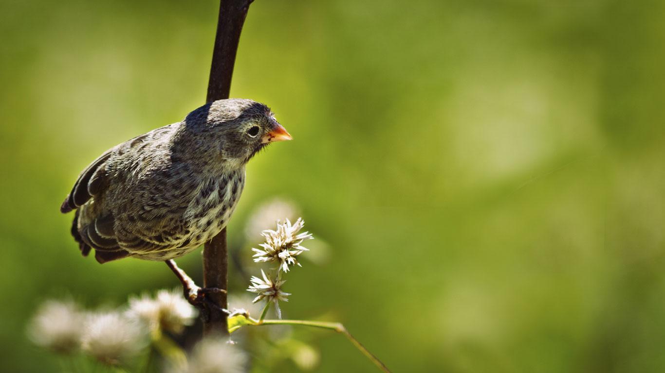 Darwin-Finken haben Charles Darwin auf die Evolutionstheorie gebracht