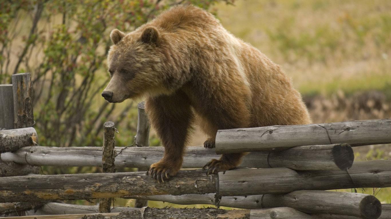 Wenn ein Bär sich angegriffen fühlt