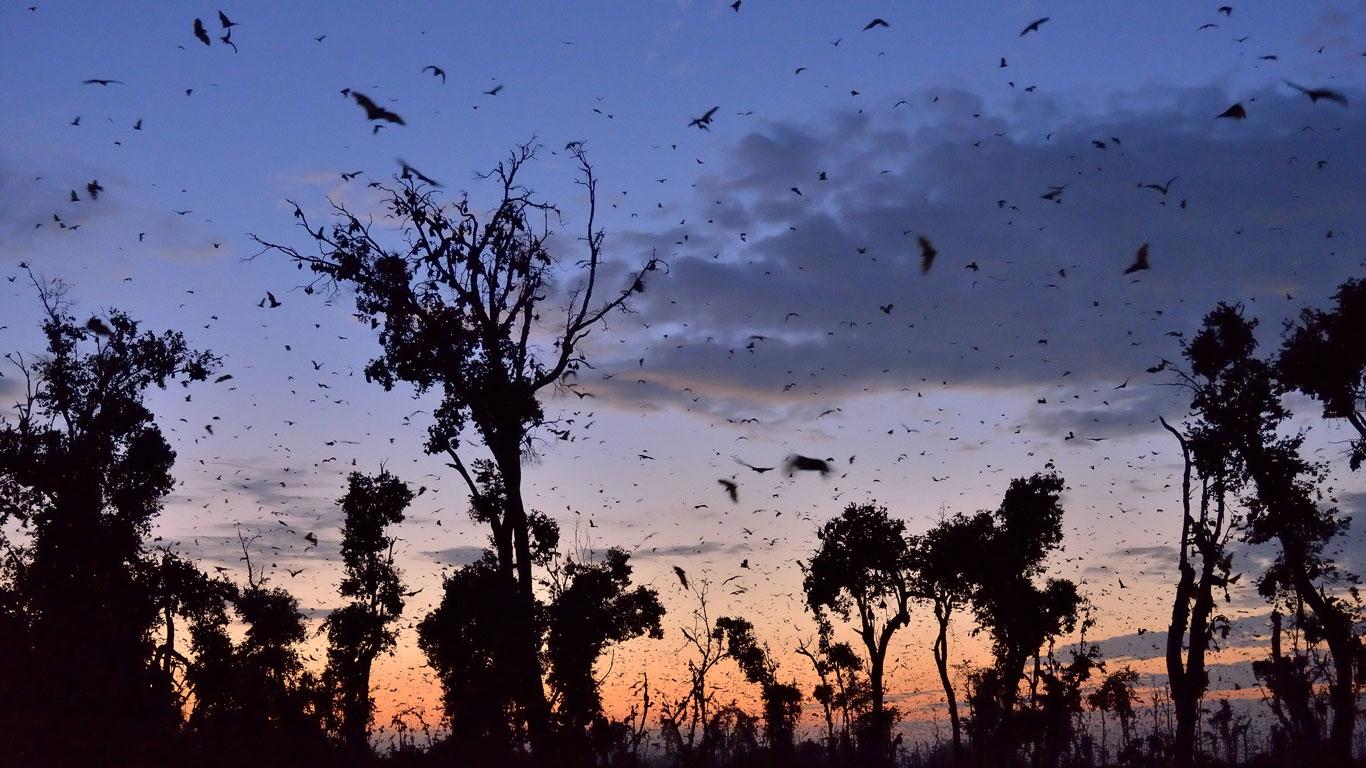 Invasion der fliegenden Hunde