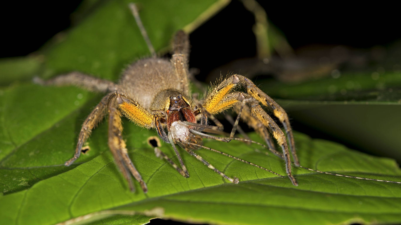 Brasilianische Wanderspinnen (Phoneutria)