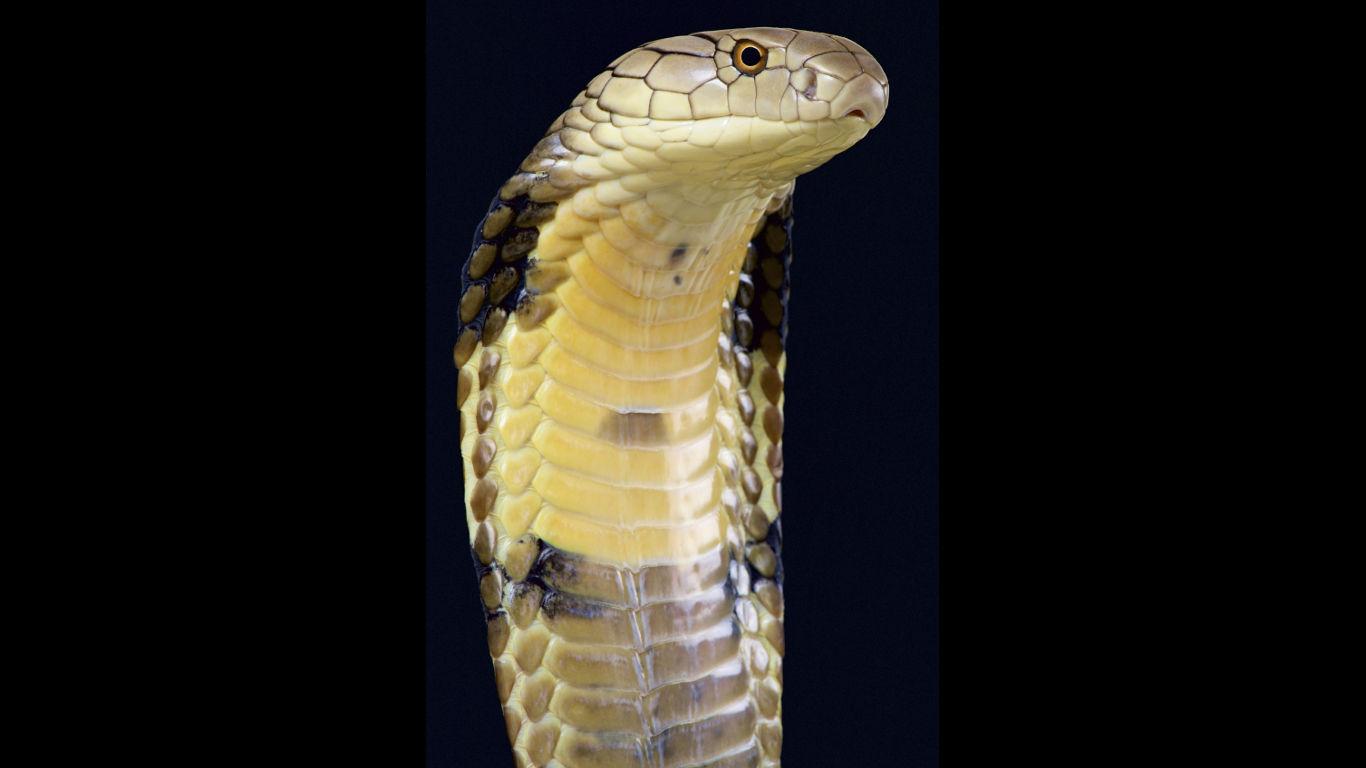 Königin der Schlangen