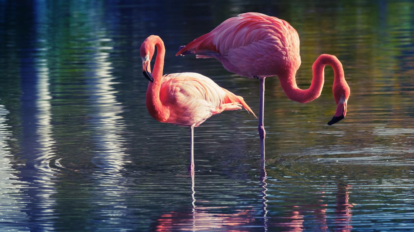 Warum stehen Flamingos auf einem Bein?