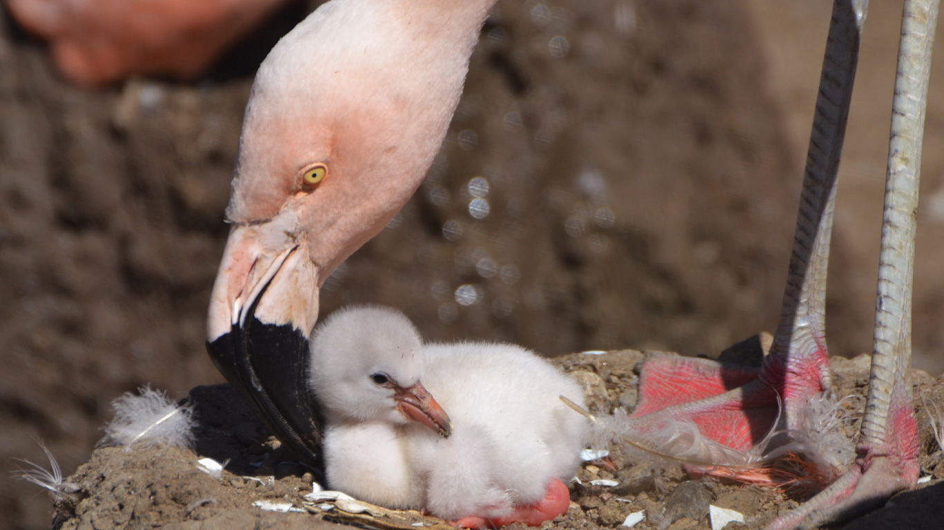 Wie werden Flamingo Jungen aufgezogen?