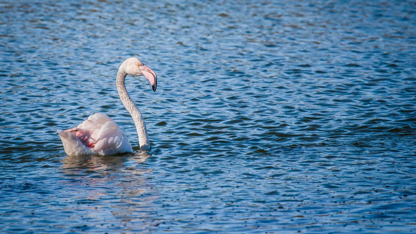 Können Flamingos schwimmen?