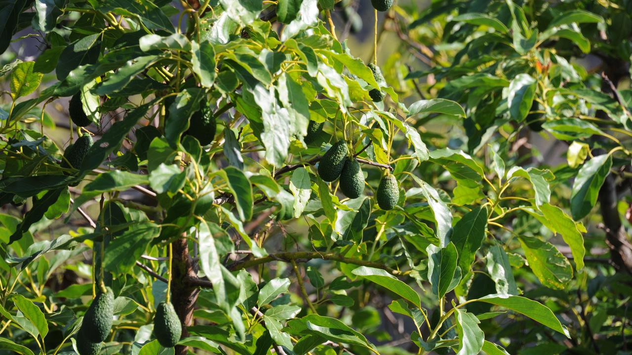 Avocado: die gesunde Trendfrucht