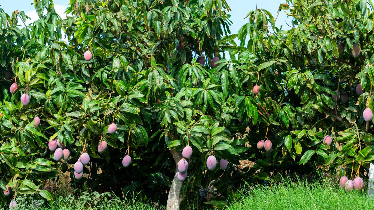 Mangos: etablierte Exoten
