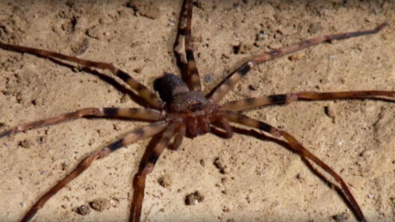 giftigste spinnen der welt
