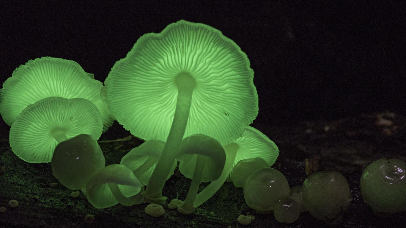 Leuchtende Natur: Biolumineszente Pilze