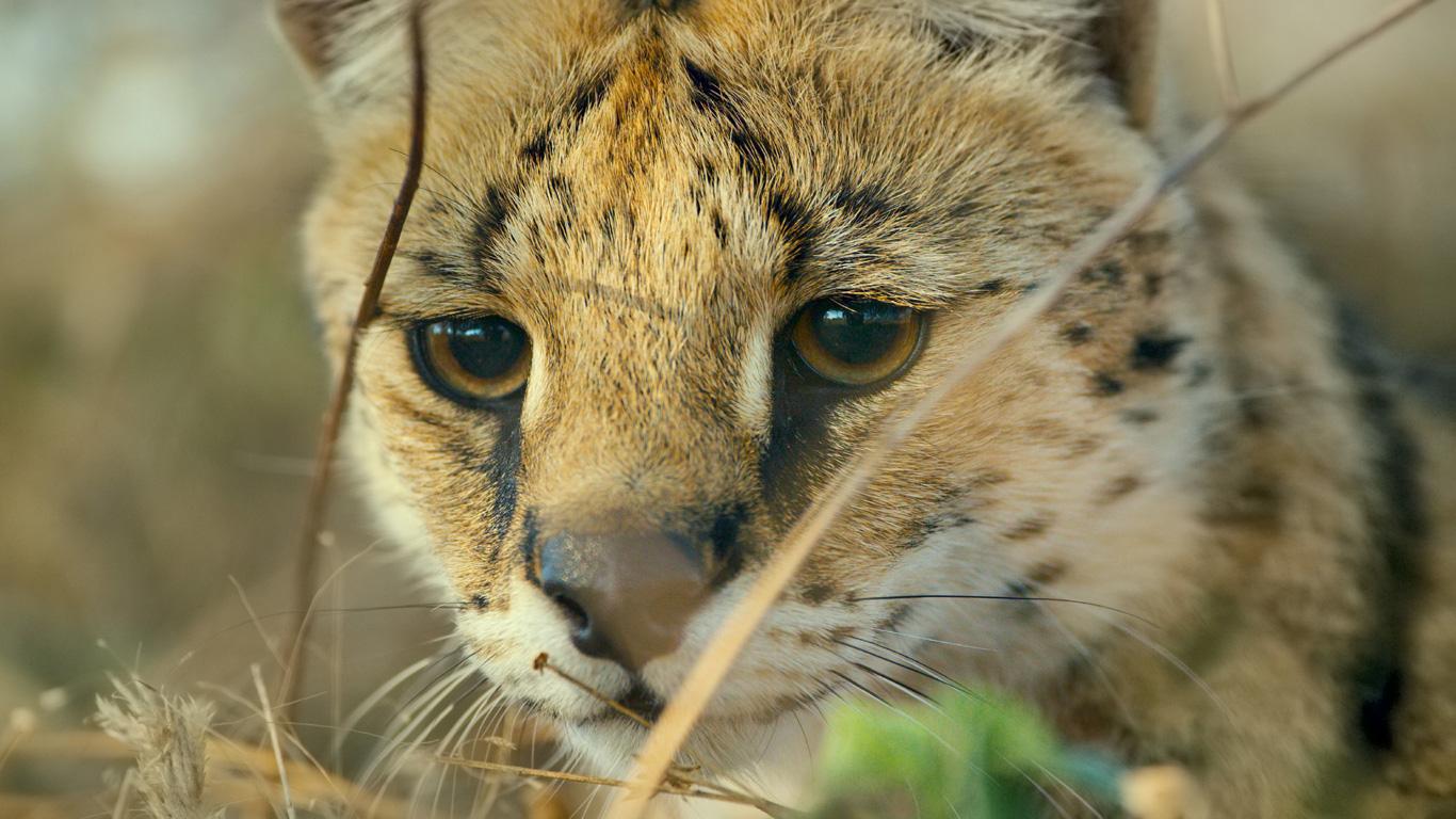 Springende Wildkatze: Serval