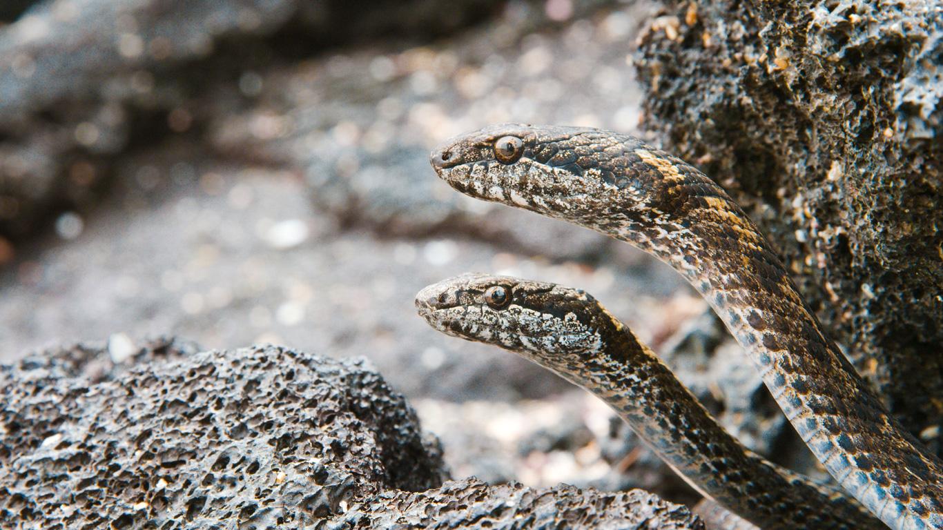 Tödliche Schlangen: Galapagos-Racer
