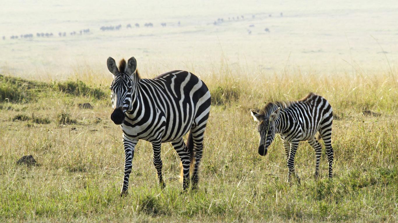 Geduldiges Pferd: Zebrafohlen
