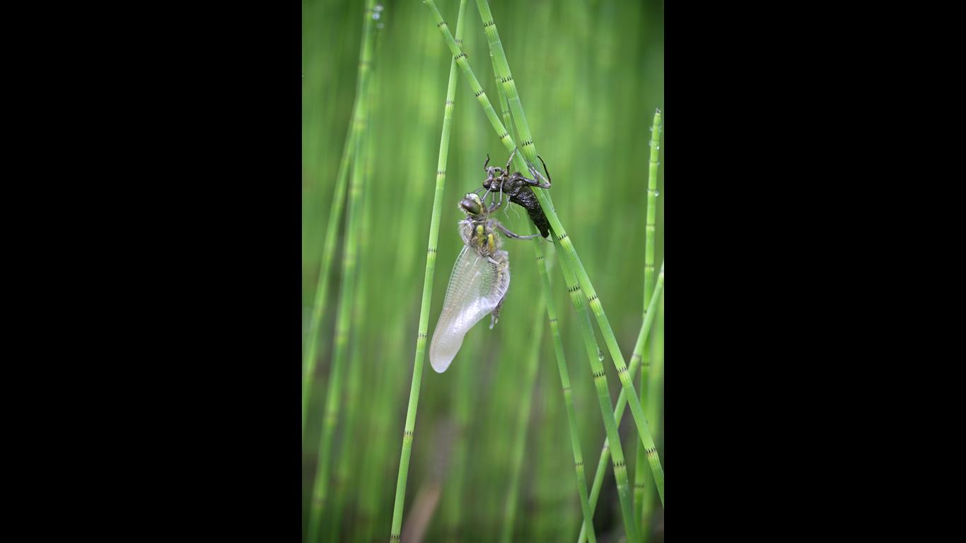 Libellenlarven