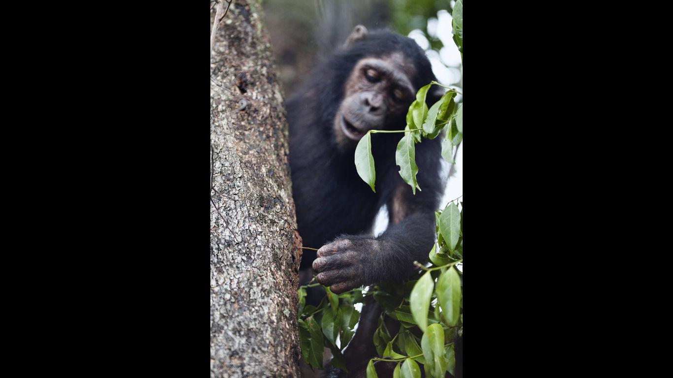 Schimpansen orientieren sich an Anderen