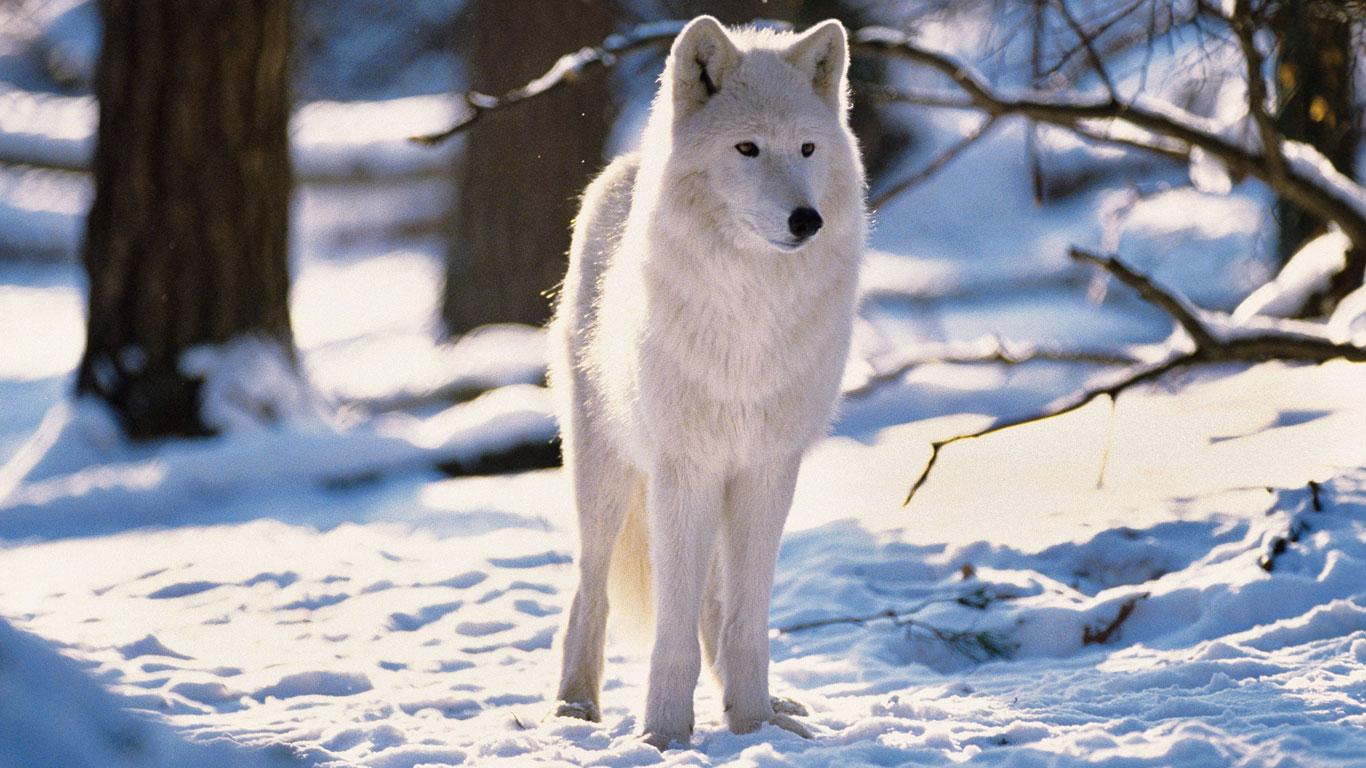 Der Polarwolf: Im Rudel gegen die Kälte