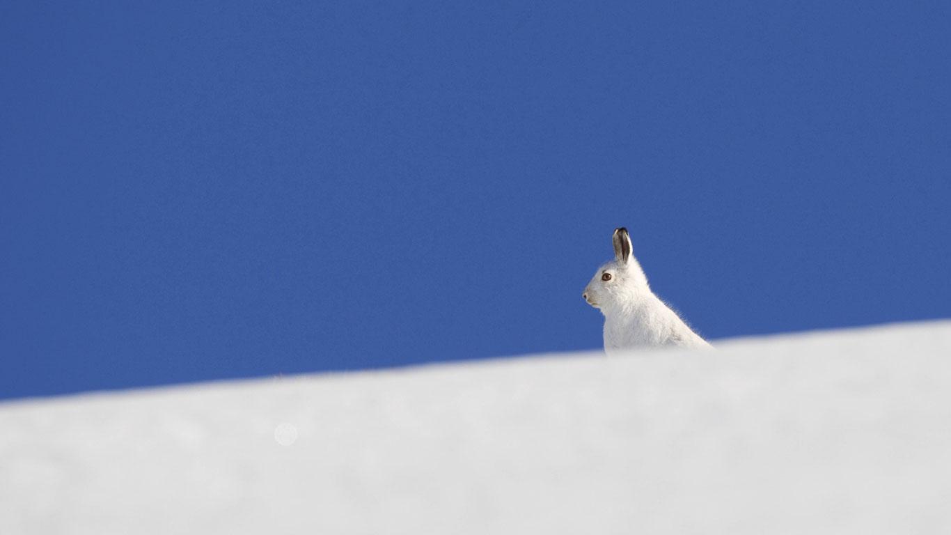 Der Schneehase: Hoppelnd durch die Kälte