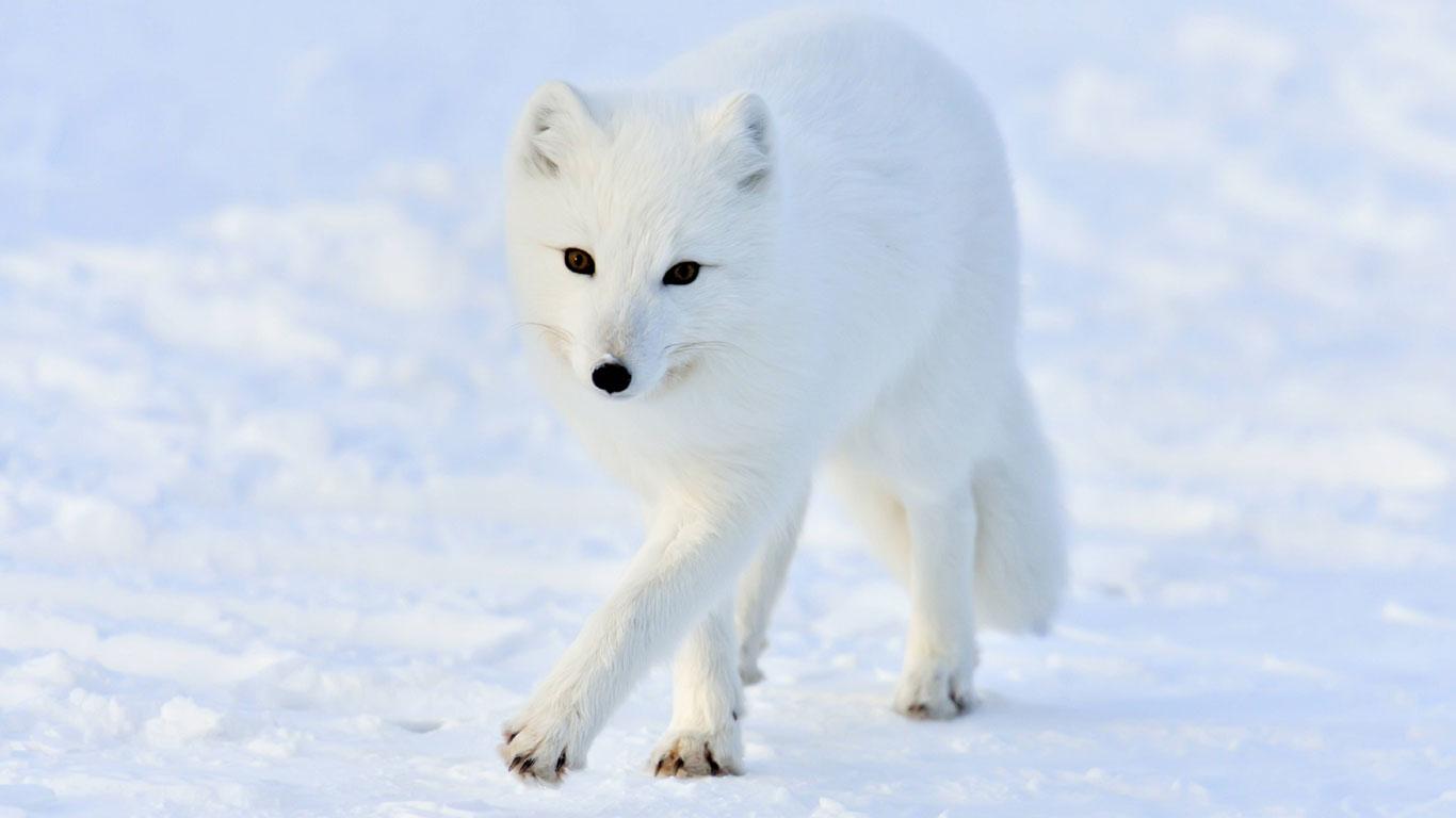 Der Polarfuchs: Listiger Räuber auf Samtpfoten