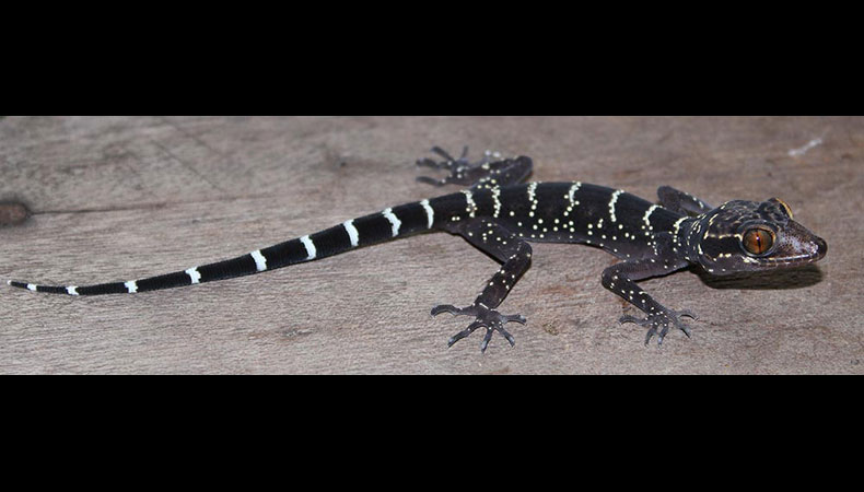 Cyrtodactylus vilaphongi