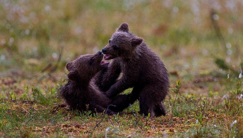 Bärenkinder im Norden Finnlands