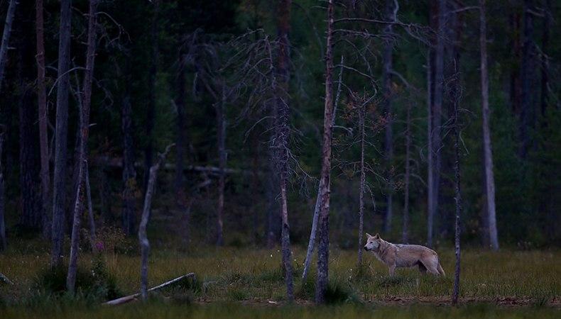 Warten auf den Wolf