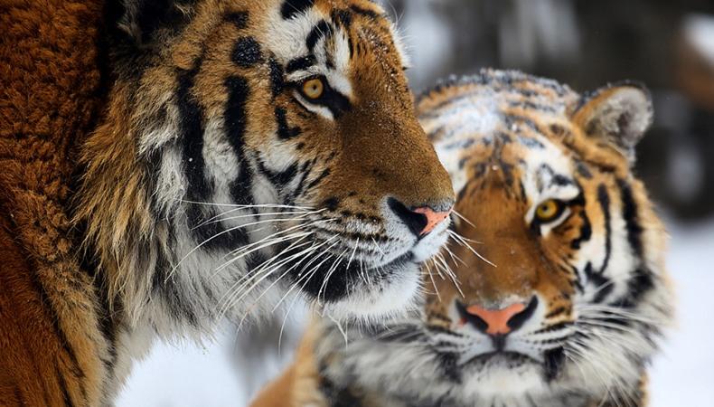 Woher weiß man, wie viele Amur-Tiger es noch gibt?