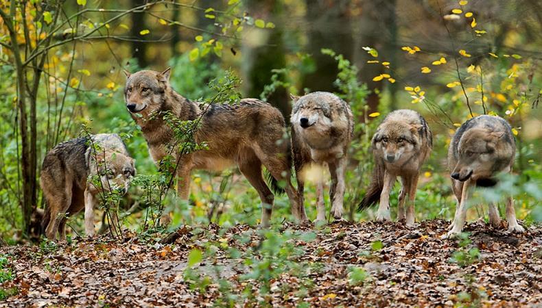 Kein Wolf ist wie der andere
