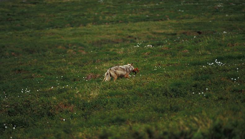 Der Wolf – die Gesundheitspolizei unserer Wälder