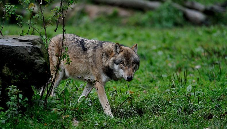 Wölfe können unglaublich weit laufen