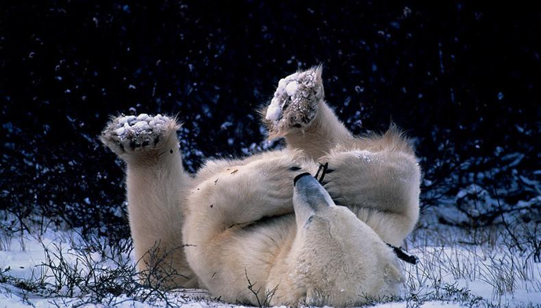Eisbären sind perfekt an das Leben in der Arktis angepasst