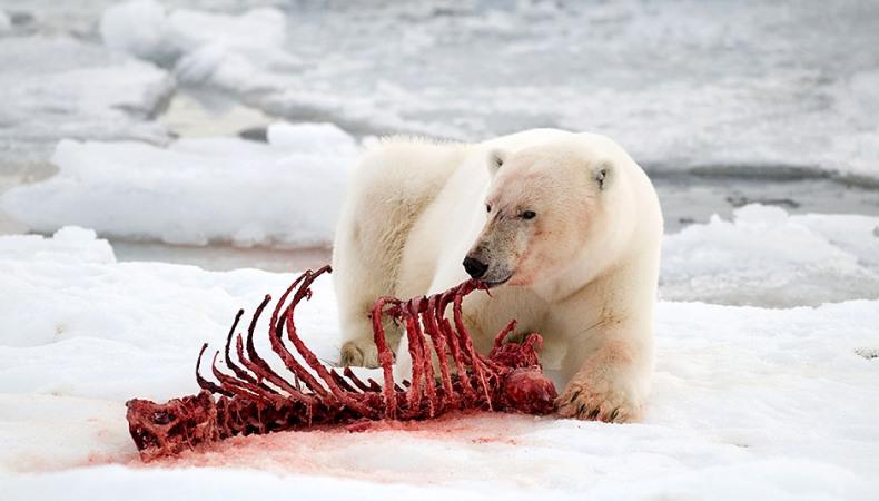 Die Robbe schmeckt