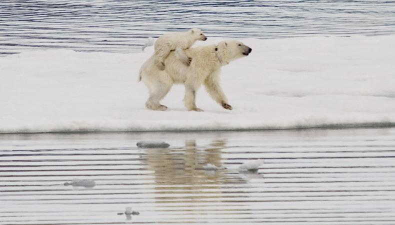 Eisbär-Nachwuchs