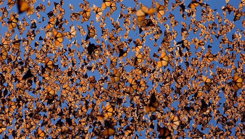 Verlierer: Amerikanischer Monarchfalter