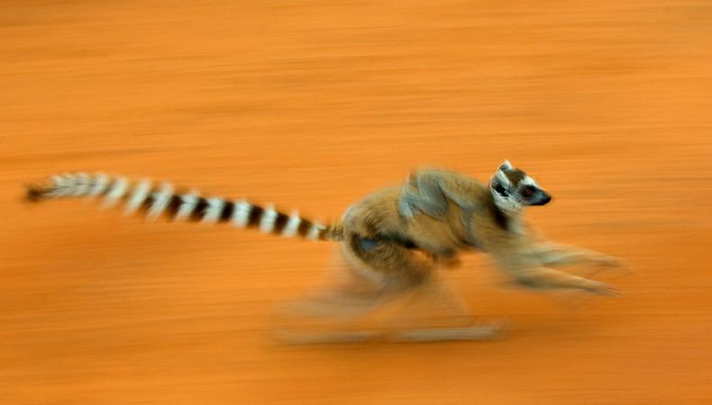 Verlierer: Lemuren