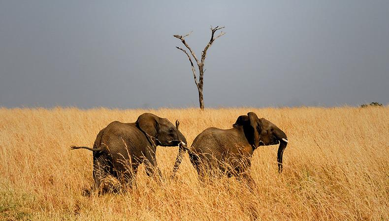 Verlierer: Elefanten