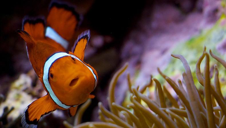 Clown der Korallen
