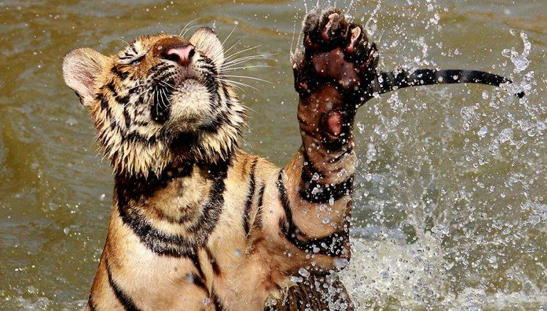 Gut geschwommen, Tiger!
