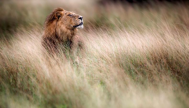 König der Wildnis