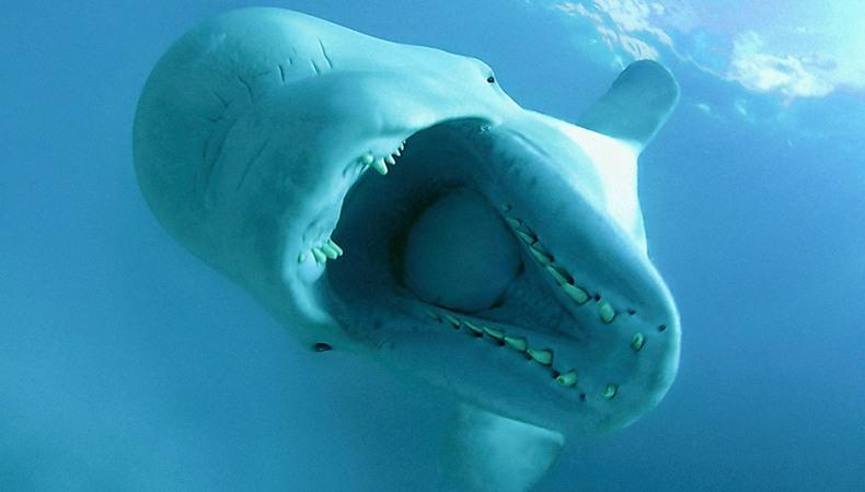 Beluga - die weiße Schönheit