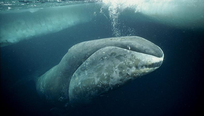 Grönlandwal - die graue Eminenz