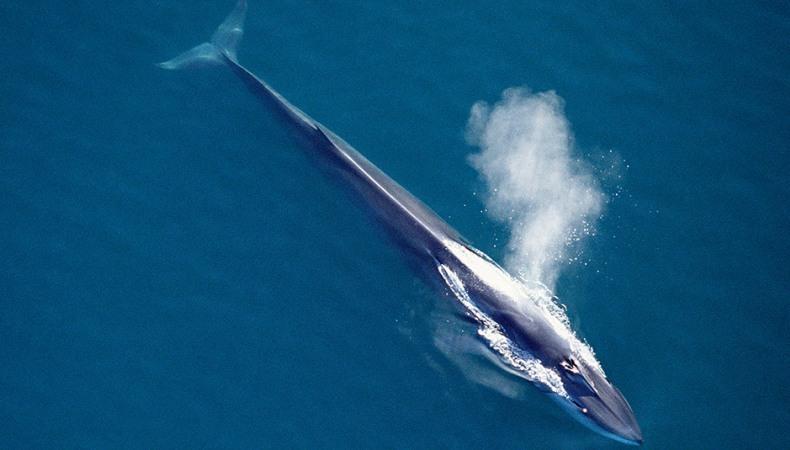 Finnwal - der Pfeilförmige