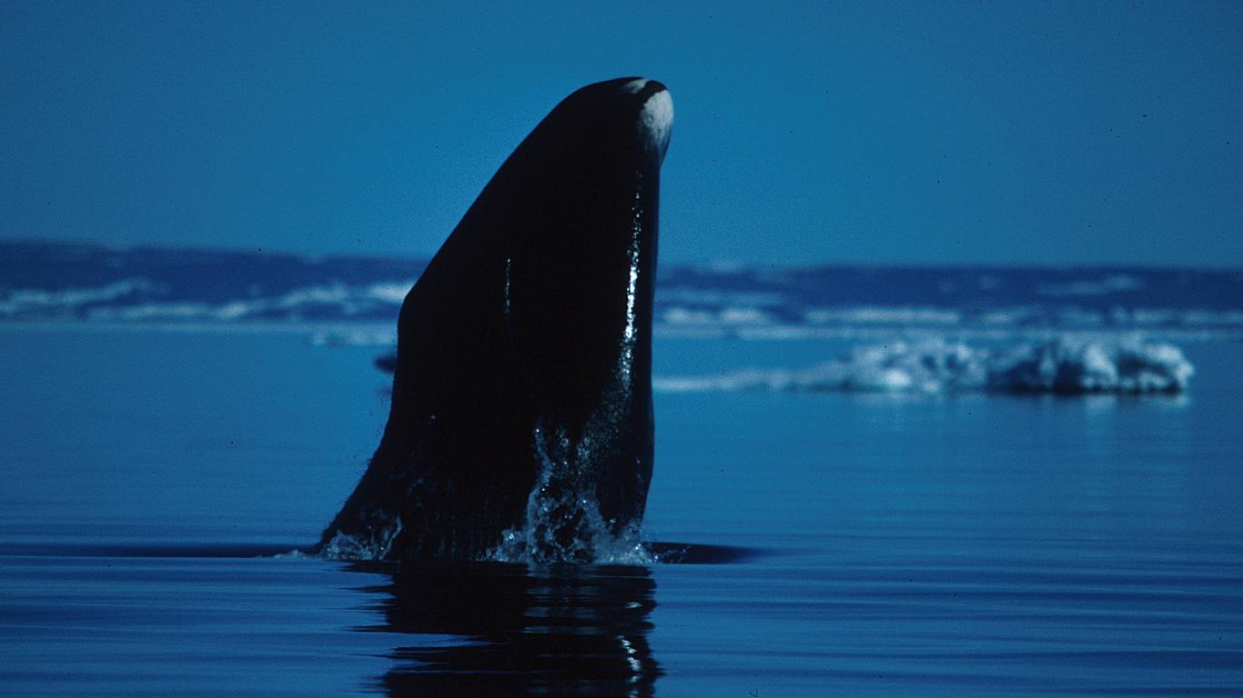 Grönlandwale