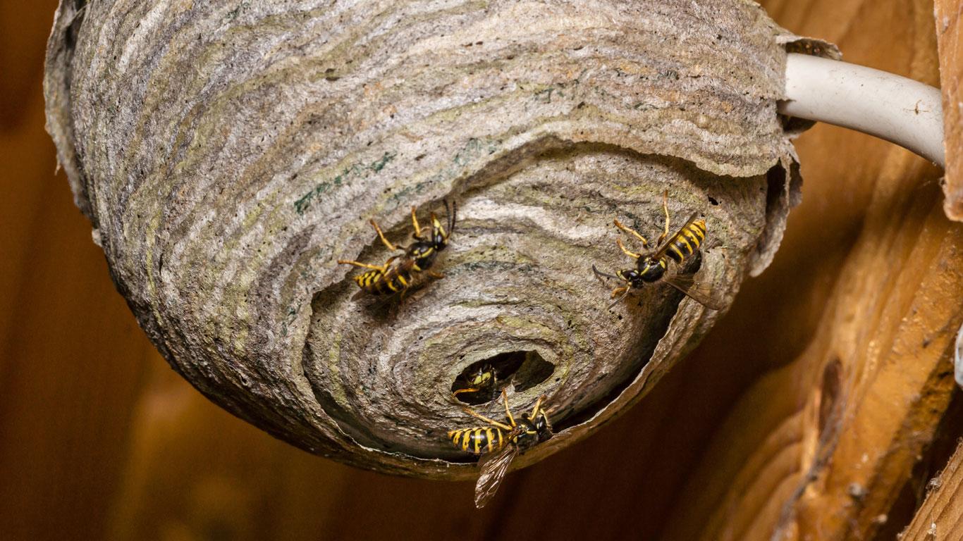 Sind Wespen Nützlich