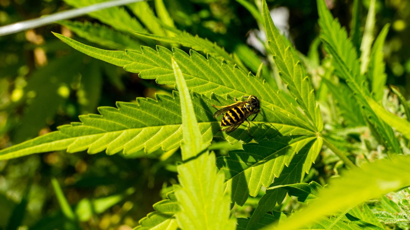 Könnte man Wespen als Drogenfahnder einsetzen?