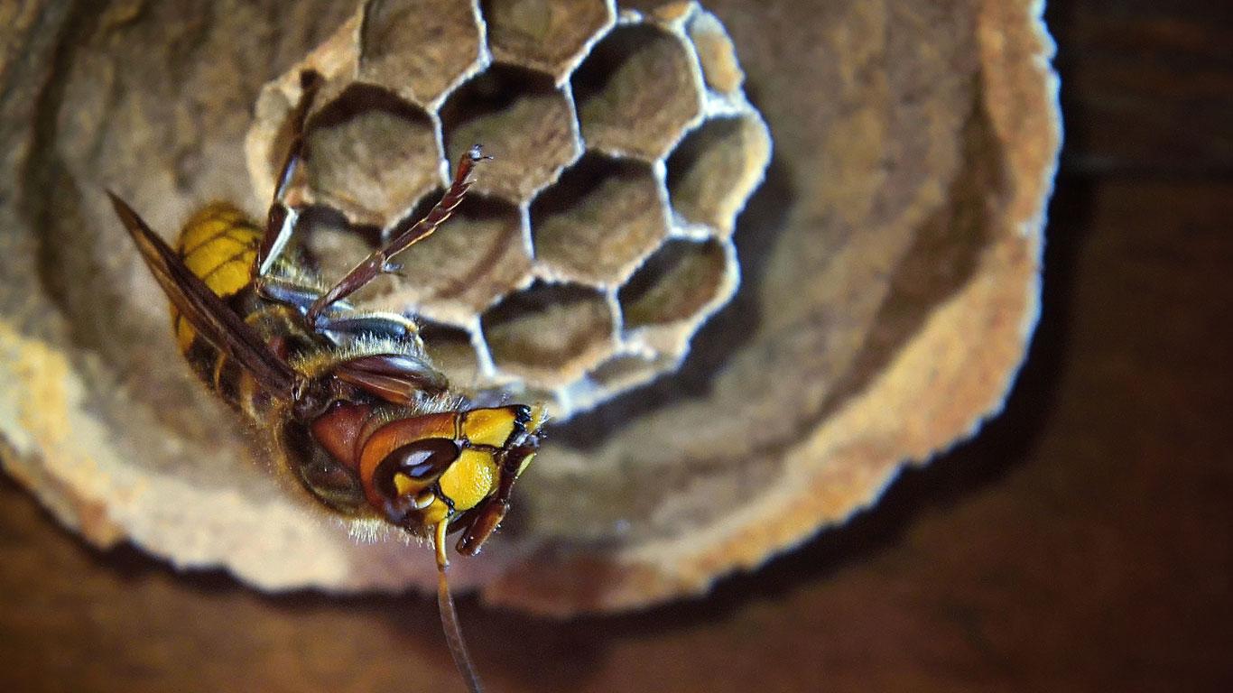 Gibt es eine Wespenkönigin?