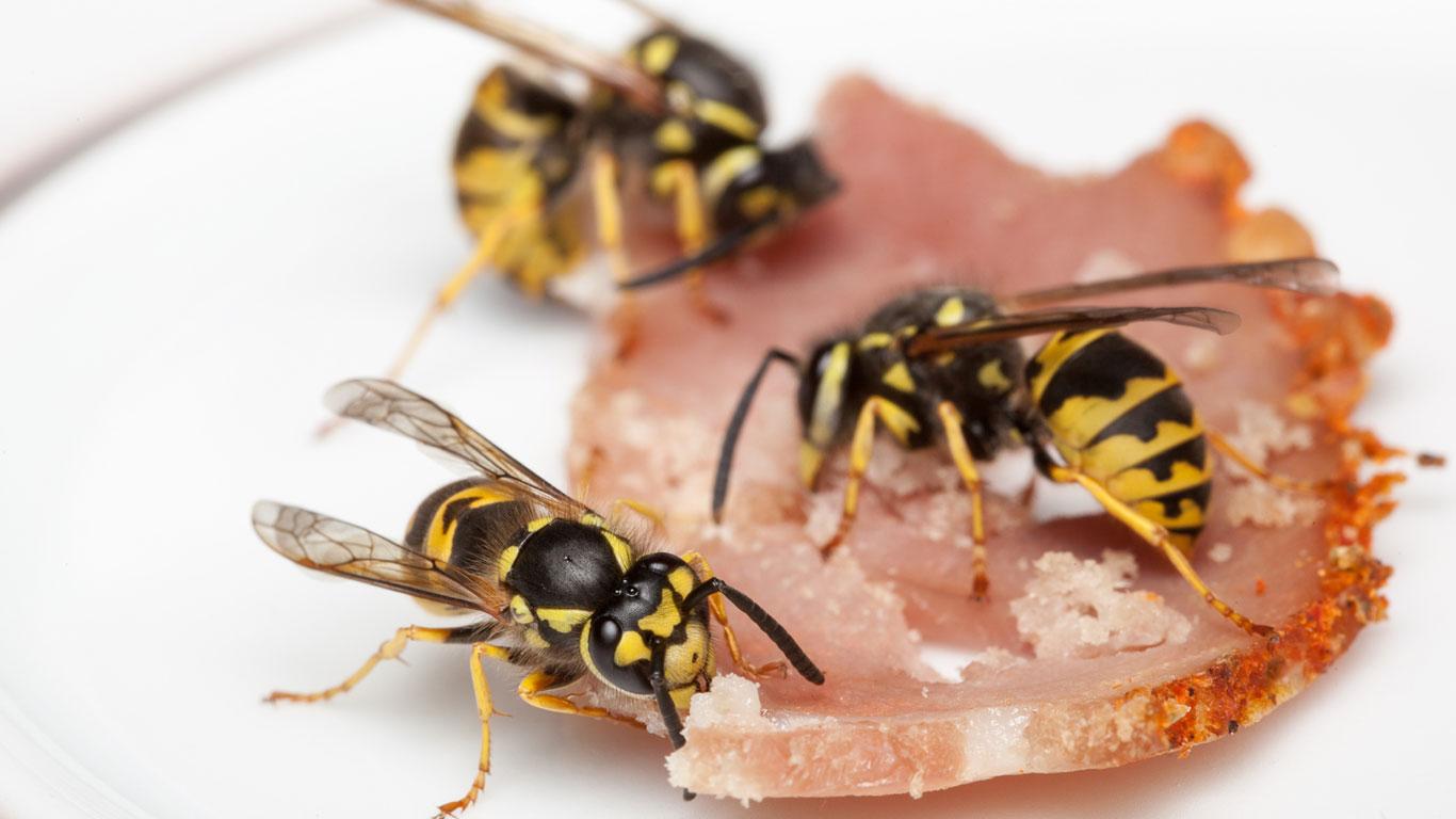 Wovon ernähren sich Wespen?
