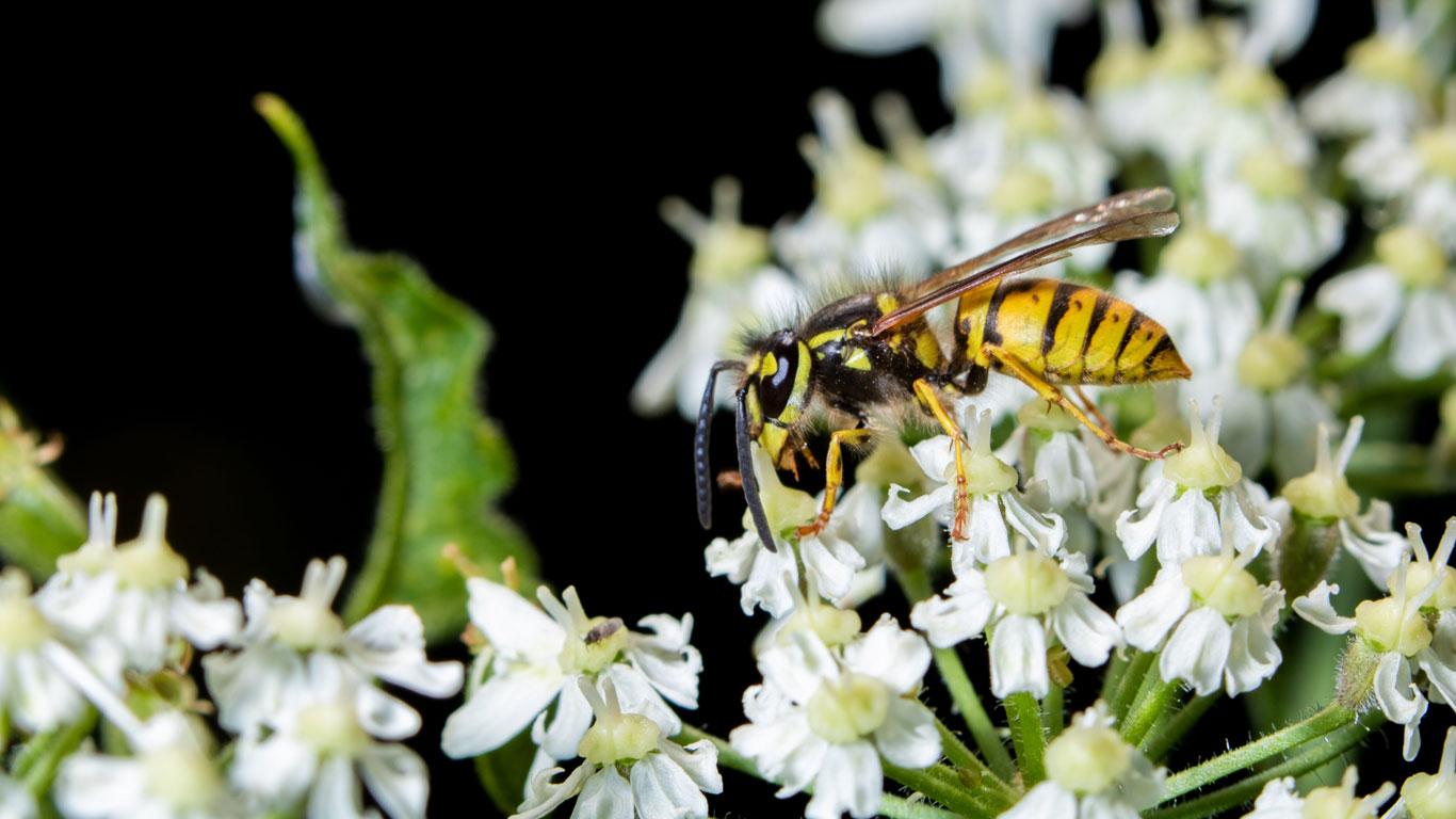 Können Wespen Pflanzen bestäuben?